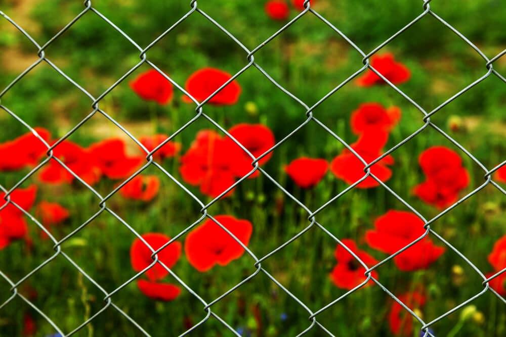 Field of red opium poppies | BigEasyFences